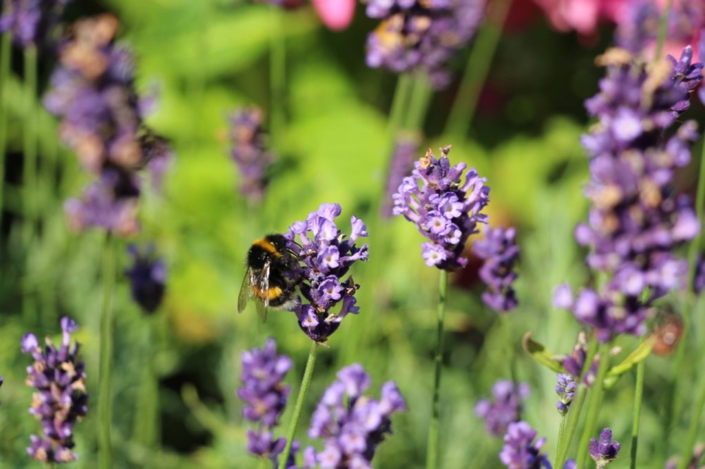 Dicke Hummel auf Lavendelblüte